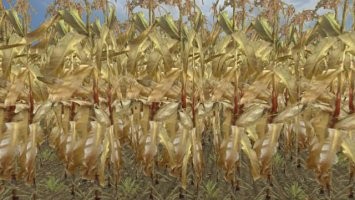 Gold maize ls2013